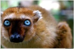 A blue eyed black lemur (Eulemur macaco flavifrons).