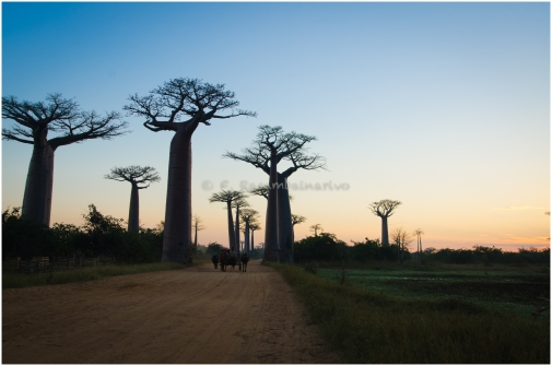 Oxcart on the baobab alley