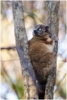 A sportive lemur (Lepilemur ruficaudatus) from Zombitse