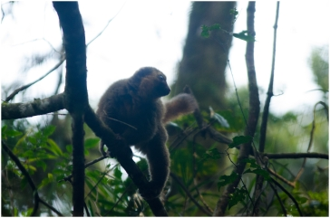 A golden bamboo lemur (Hapalemur aureus) at the Ranomafana National Park